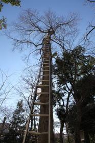 立木の枝落とし